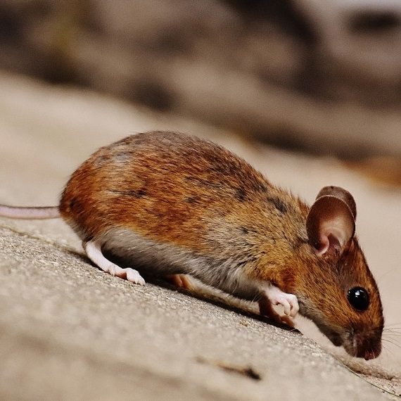 Mice, Pest Control in Chigwell Row, Chigwell, IG7. Call Now! 020 8166 9746