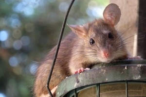 Rat extermination, Pest Control in Chigwell Row, Chigwell, IG7. Call Now 020 8166 9746