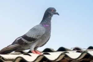 Pigeon Control, Pest Control in Chigwell Row, Chigwell, IG7. Call Now 020 8166 9746