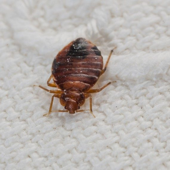 Bed Bugs, Pest Control in Chigwell Row, Chigwell, IG7. Call Now! 020 8166 9746