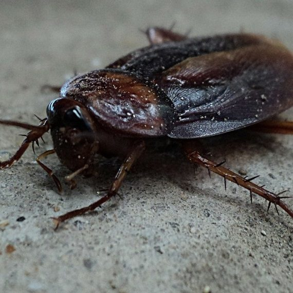 Cockroaches, Pest Control in Chigwell Row, Chigwell, IG7. Call Now! 020 8166 9746