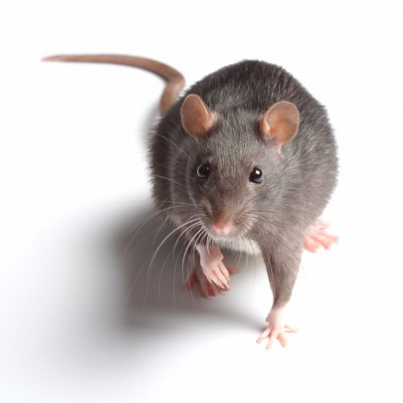 Rats, Pest Control in Chigwell Row, Chigwell, IG7. Call Now! 020 8166 9746
